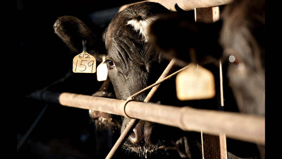 A beef cow stands in a barn at a feedlot owned by Jamie Willrett in Malta, Illinois, U.S., on Tuesday, April 5, 2011. Cattle fell the most in three weeks yesterday on speculation that demand from U.S. processors may ease after a rally to a record.