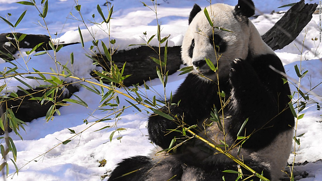 Tai Shan is Mei Xiang's first surviving cub. He was born in 2005 and was returned to China in 2010 to participate in the panda breeding and conservation program in Chengdu.