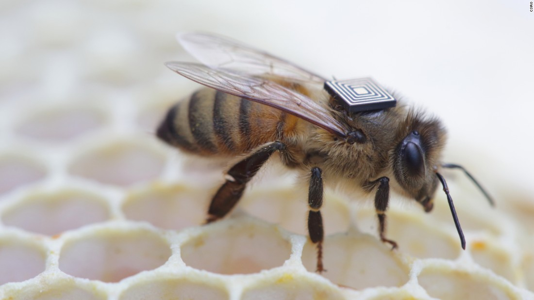 Australian researchers combat bee decline with tiny trackers
