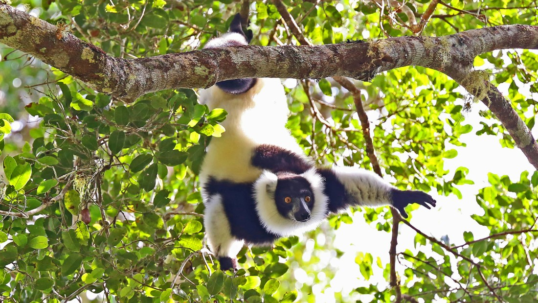After 93 lemur species were put on critical, endangered or vulnerable watch lists in 2013, conservation experts drew up a three-year emergency plan requiring $7.6 million.