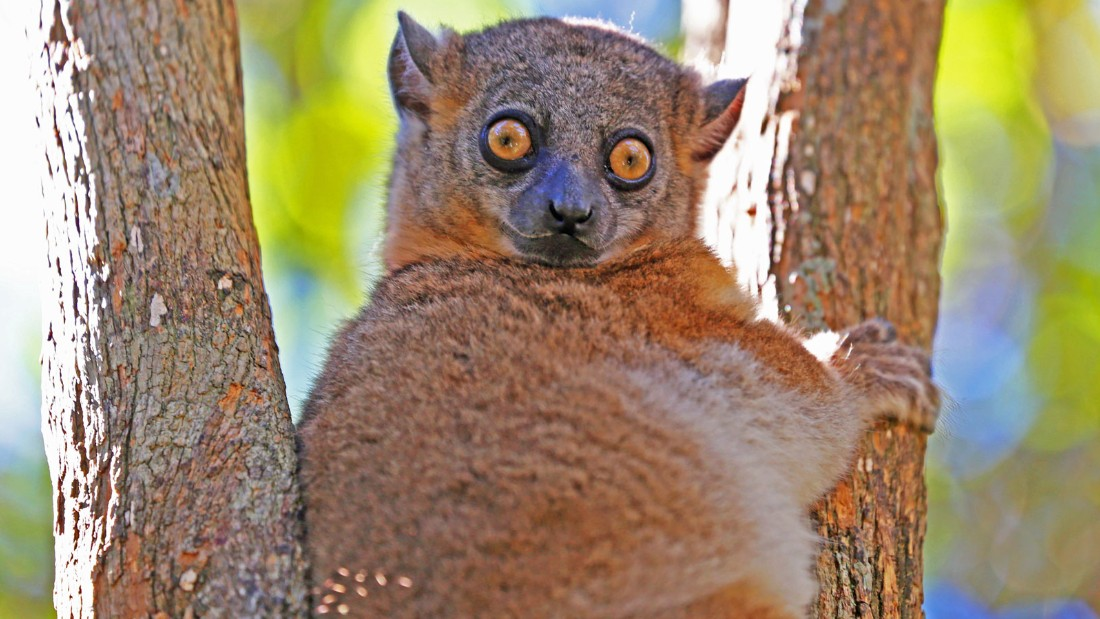 Some species are teetering right on the brink. The northern sportive lemur is believed to be down to just 60 animals.