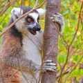 Madagascar 12 Lemur Ring-tailed