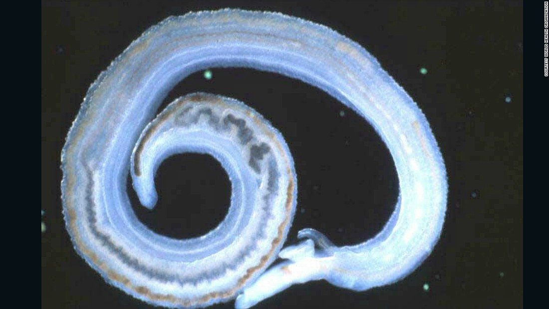 Adult schistosoma worms live inside blood vessels where females then lay eggs which migrate through the intestine.