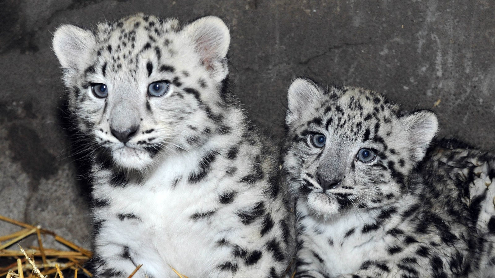 Newborn Snow Leopards Ready For Their Closeup