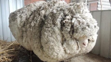 Merino sheep with world's heaviest fleece dies