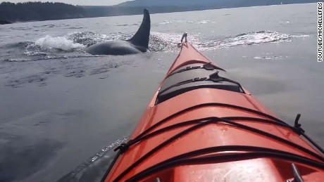 'What are they doing?': Orcas get cozy with kayakers