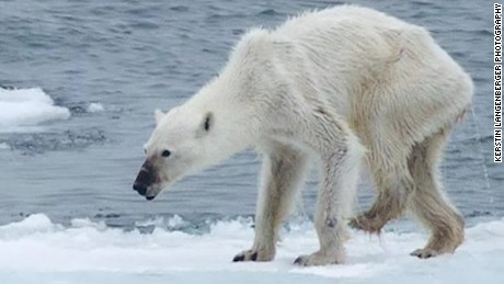 Emaciated polar bear, what's to blame?