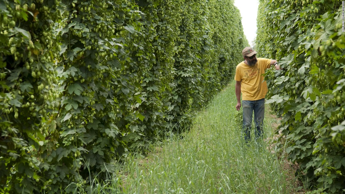 Rogue Brewing brewmaster John Maier inspects his hops at Rogue Farms in Independence, Oregon. Rogue uses fresh-picked Yaquina hops in its <strong>Rogue Wet Hop Ale</strong>.