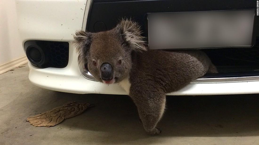 Is this the world's luckiest koala?