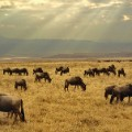 wildebeest-ngorongoro-crater