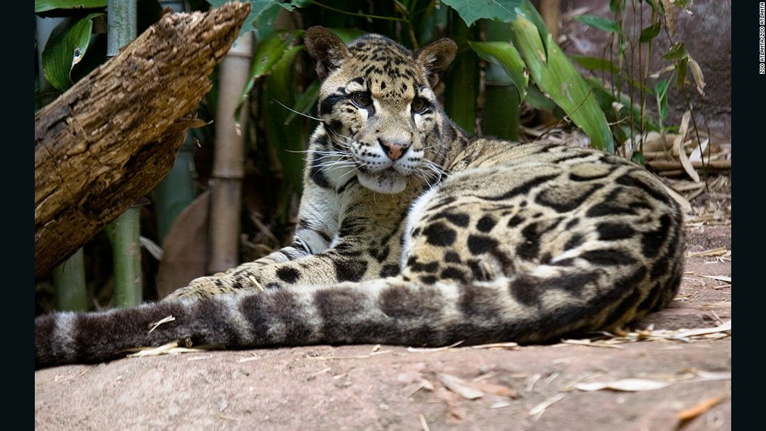 Researchers also extracted skin cells from clouded leopard Moby. Moby was euthanized at Zoo Atlanta in 2013 after being sick for months.