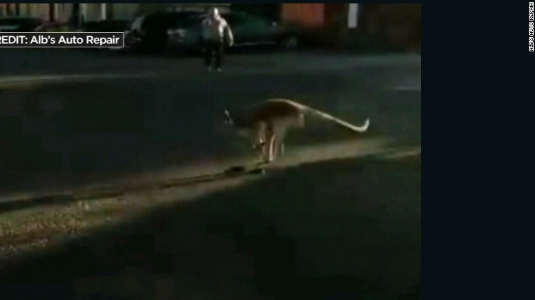 Kangaroo gets loose in New York City