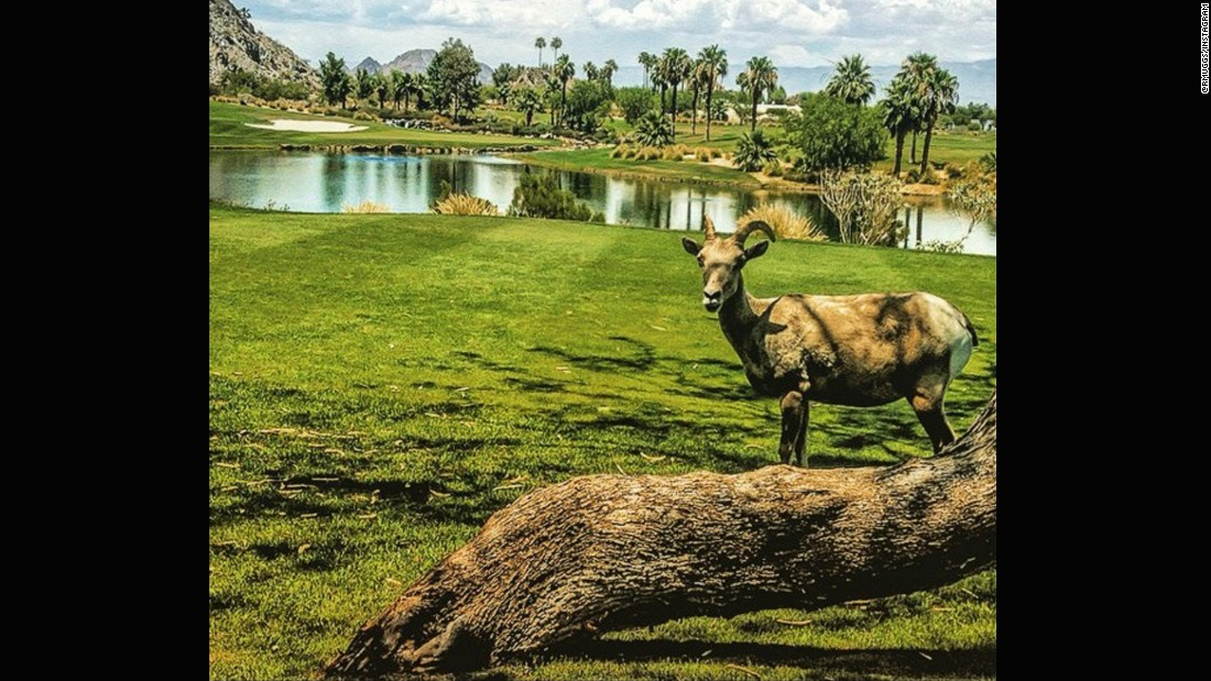 "While some golfers in certain parts of the world have been scared off course by alligators, <a href=""https://instagram.com/rmuggs/"" target=""_blank"">@rmuggs</a> found a far less scary intruder on his round. The big horn sheep even took the time to pose and smile for the camera."