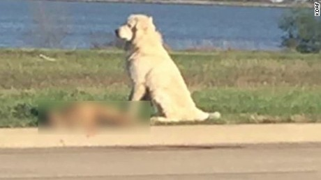 great pyrenees stands by dog hit and killed car pkg_00000714