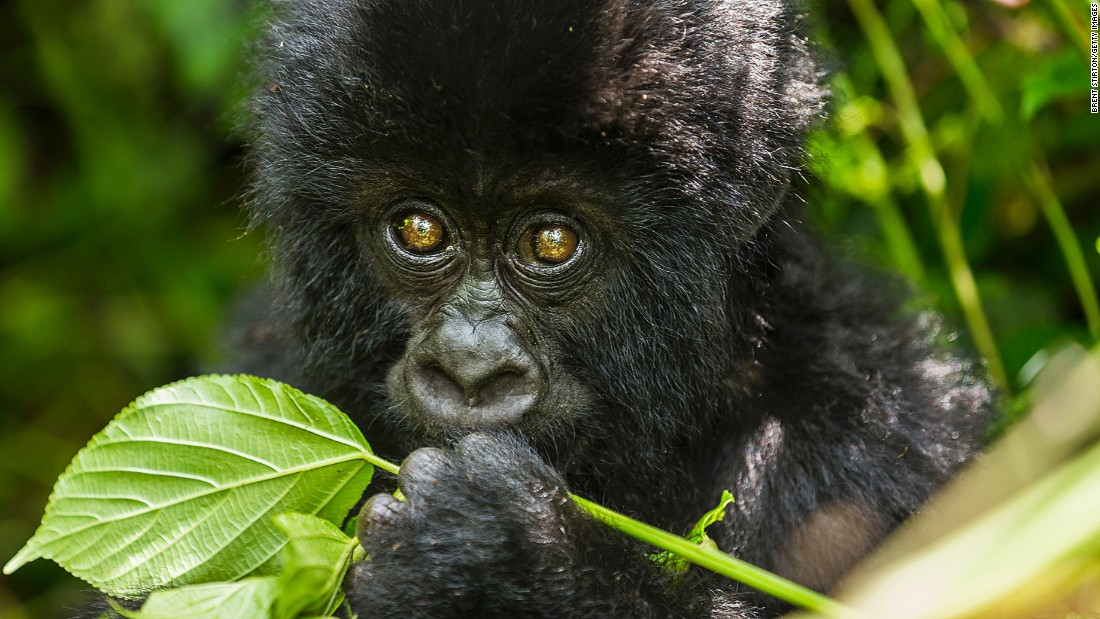 """The gorillas are also part of the culture of the local communities in the Virunga mountains, and they are an important source of revenue for the economies of the countries profiting from gorilla tourism,"" he adds. <br />During their patrols, rangers invariably come into contact with armed poachers or groups of armed people staying in the forest. Gorilla habitats in the park have often been occupied by rebel movements. Despite this, the gorillas continue to survive, largely due to the park rangers' efforts<br />"