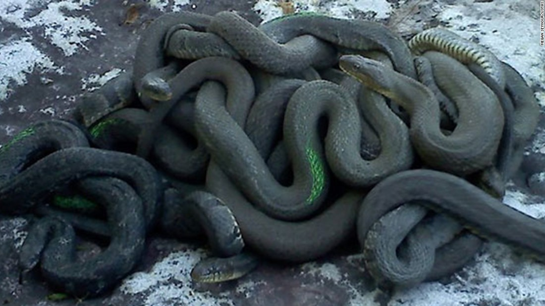 The <strong>Lake Erie water snake</strong>, native to the Great Lake's waters between Cleveland and Toledo, Ohio, was removed from the endangered species list in 2011. The snakes grow to more than 3 feet in length and are not venomous.