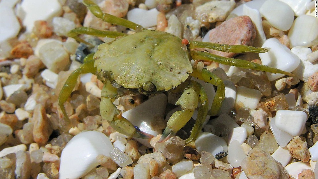 The European green crab has devastated native species in the U.S. Note to chefs: It's delicious stir-fried or in soups.