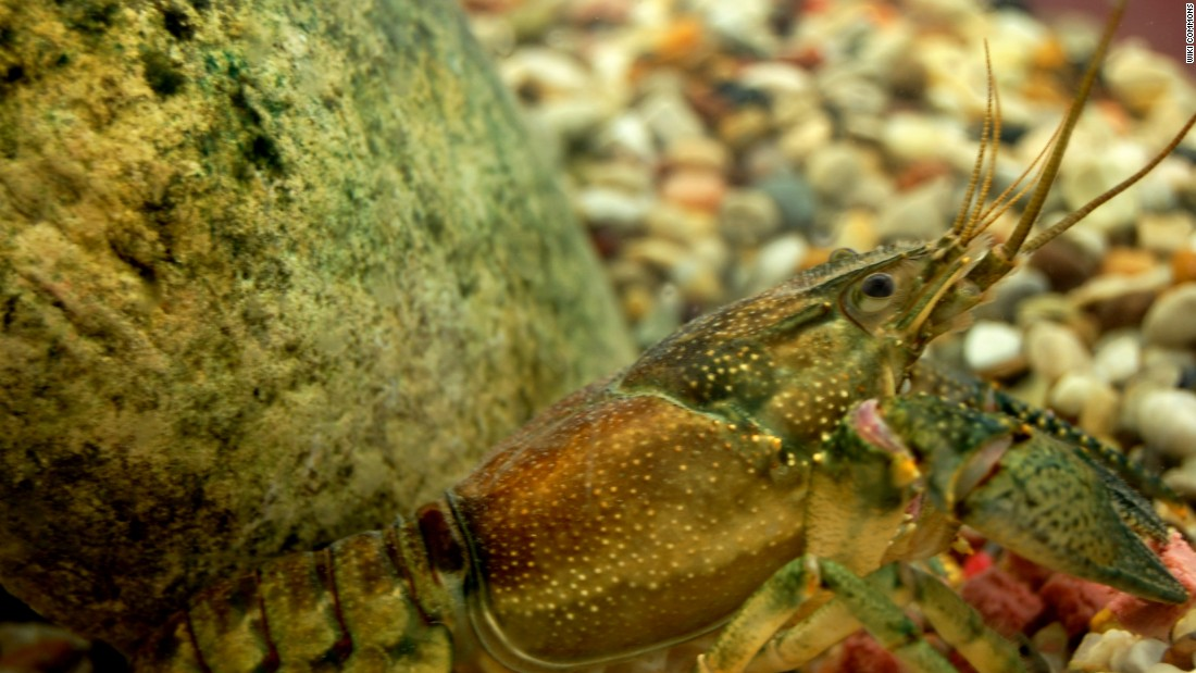 Rusty crayfish has spread north from the Ohio region, displacing local crayfish, but can be eaten the same way -- and they taste just as good.