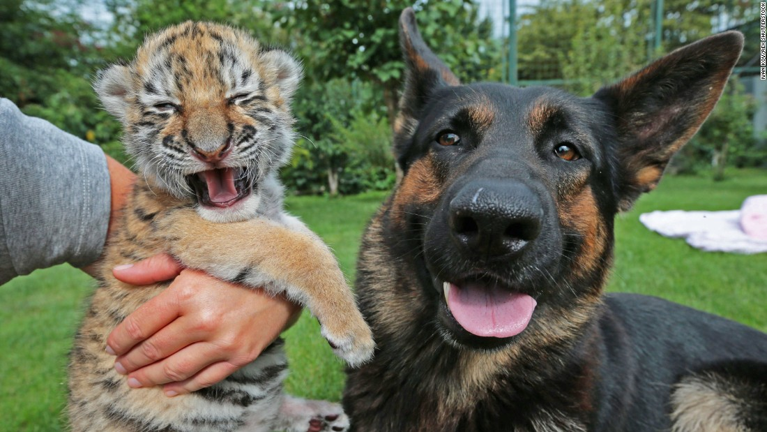 A tiger cub looks as though she is laughing Tuesday, July 28, in Senec, Slovakia. The 2-week-old cub had been rejected by her mother at the Siberian Tiger Oasis in Senec. A team of volunteers, including this dog, took over parenting duties for the inexperienced mother.
