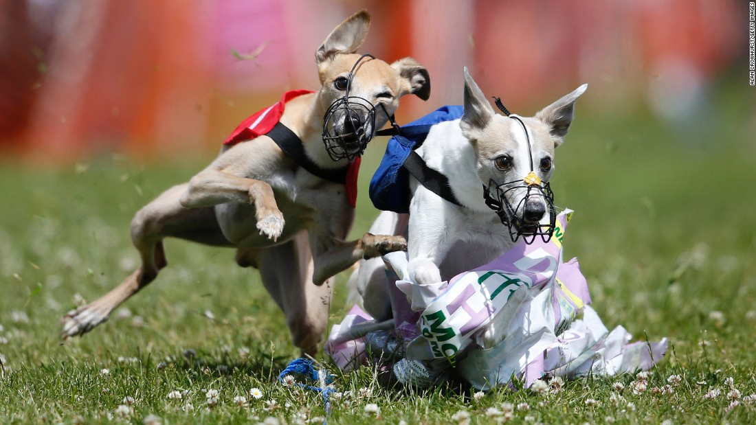 Whippets catch the plastic lure after a race in Fordingbridge, England, on Sunday, June 14.
