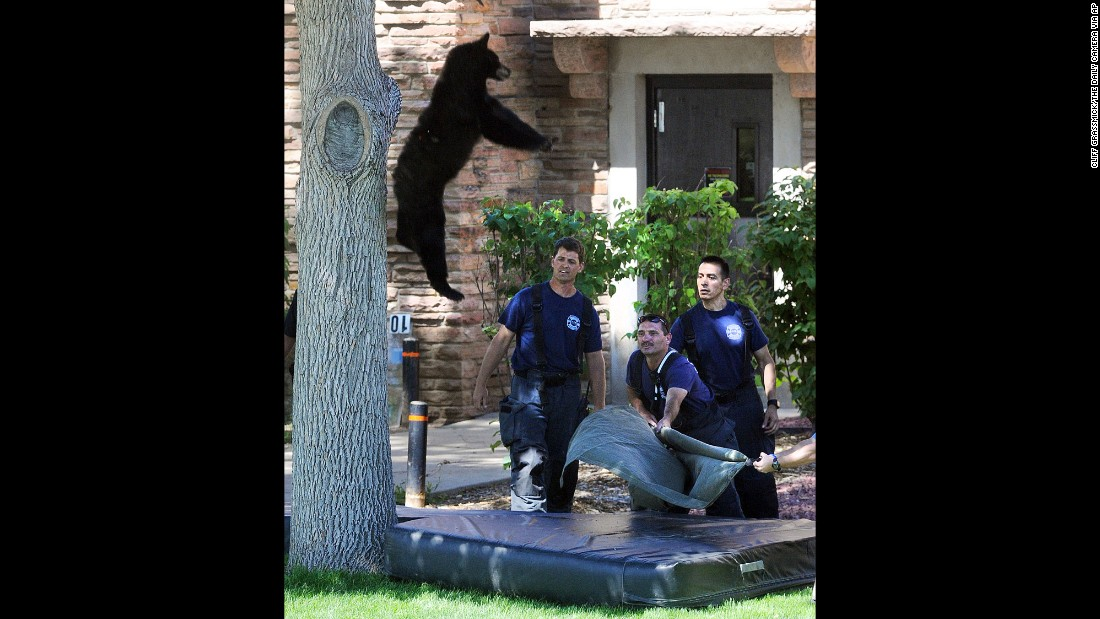 "<strong>July 10:</strong> A bear falls from a tree after being hit with a tranquilizer dart by wildlife officers in Boulder, Colorado. The bear didn't appear to be injured in the fall, <a href=""http://www.dailycamera.com/news/boulder/ci_28462275/bear-takes-up-residence-tree-cu-boulder-campus"" target=""_blank"">rangers told the Boulder Daily Camera.</a> He had to be relocated because he was in the middle of campus at the University of Colorado."