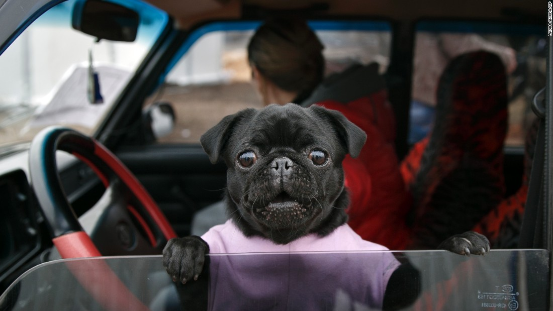 <strong>March 3:</strong> A dog looks out of a car at an army checkpoint near Kurakhove, Ukraine.