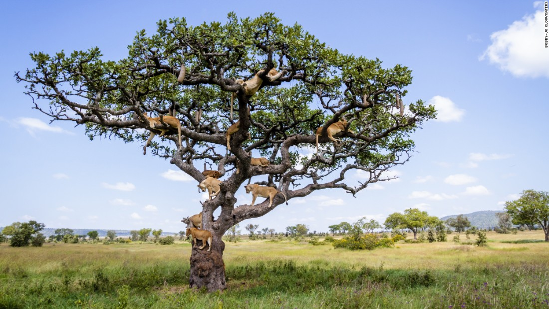 <strong>May 24:</strong> Lions nap in a tree in Tanzania. Photographer Bobby-Jo Clow said the animals were trying to escape flies in the long grass.