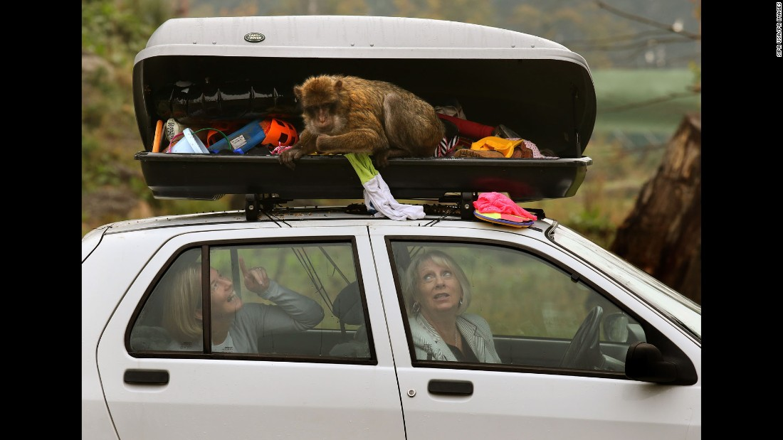 <strong>October 8:</strong> People sit in their car as a Barbary macaque rummages through their unlocked luggage compartment in Scotland's Blair Drummond Safari Park.