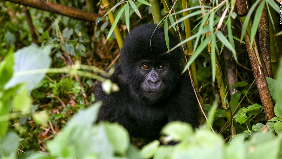 Disease and Trauma in Gorillas