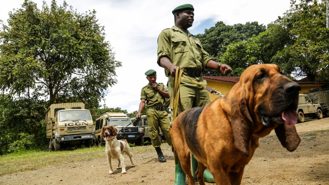 Ranger Gracien Muyisa Sivanza and his fellow rangers hope to have Virunga's dog program fully operational next year. Virunga's bloodhounds will be used to track missing persons, poachers and criminals. The spaniels will be used to detect hidden weapons and ivory.