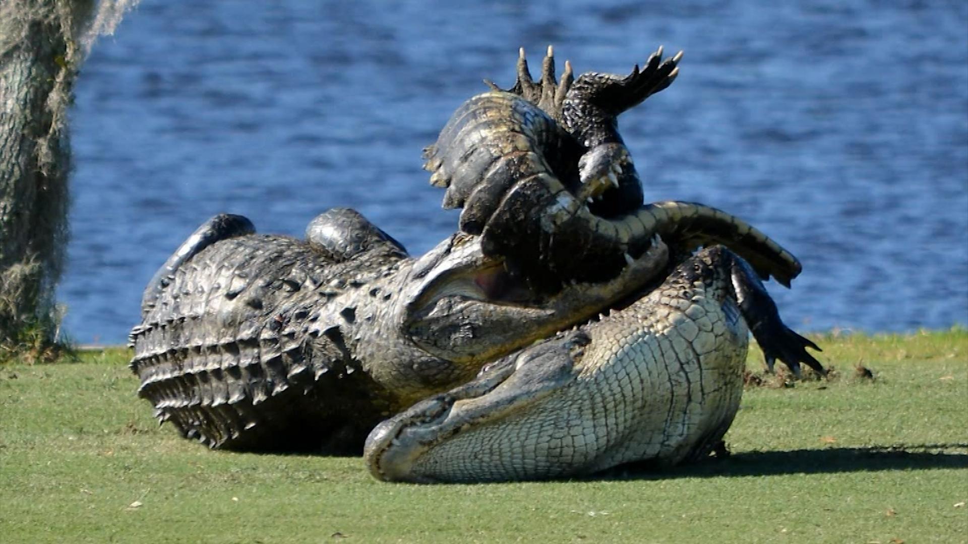 10 foot gators seen fighting on golf course cnn video