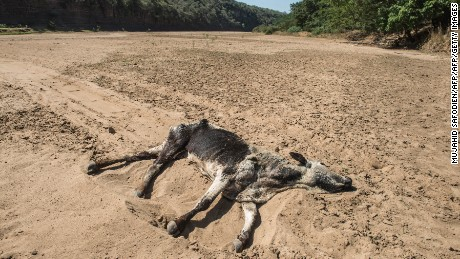 The carcass of a dead cow lies in the Black Umfolozi River, dry from the effects ot the latest severe drought, in Nongoma district north west from Durban, South Africa.