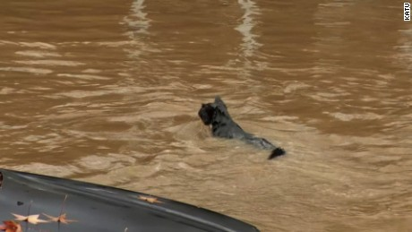 cat swimming in flood water, raccoon under traffic barricade