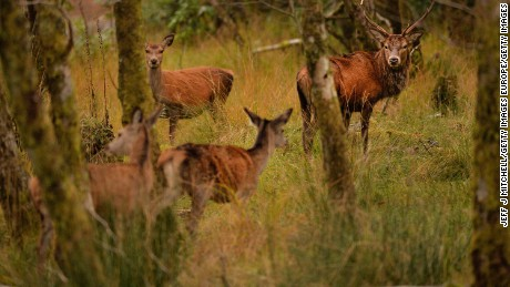 Deer overgrazing has had catastrophic effects in UK forests.