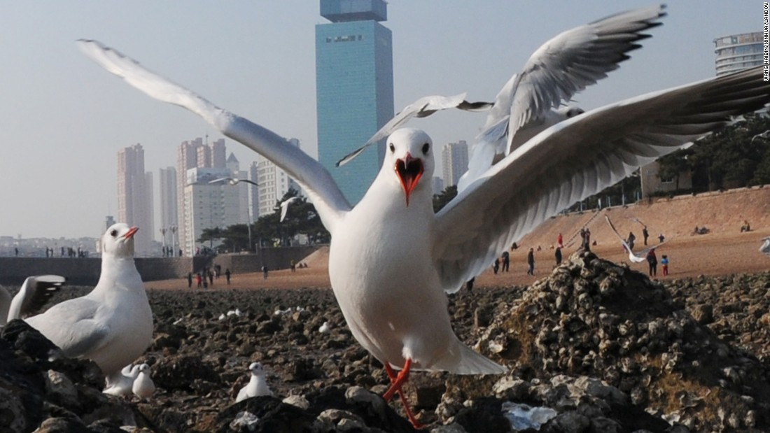 Black-headed gulls gather near the sea in Qingdao, China, on Monday, December 28.