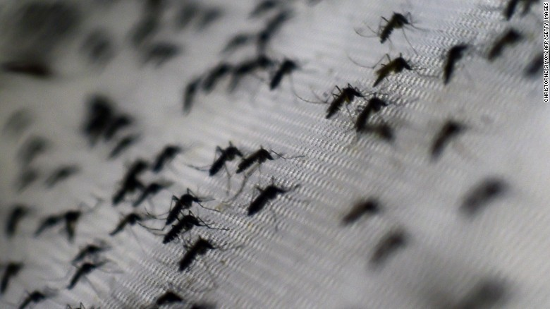 View of Aedes aegypti mosquitoes infected with the Wolbachia bacterium --which reduces mosquito transmitted diseases such as dengue and chikungunya by shortening adult lifespan, affect mosquito reproduction and interfere with pathogen replication-- at the Oswaldo Cruz foundation in Rio de Janeiro, Brazil, on October 2, 2014. The mosquitoes, when released, are expected to quickly infiltrate the insect population and stop the spread of the disease. Small-scale trials have already been conducted in communities in northern Australia.