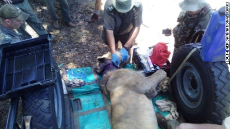 Rescuers tranquilize and remove a snare from a wounded lion's neck.