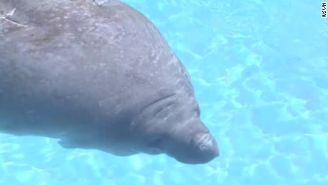 Manatees set to lose endangered status