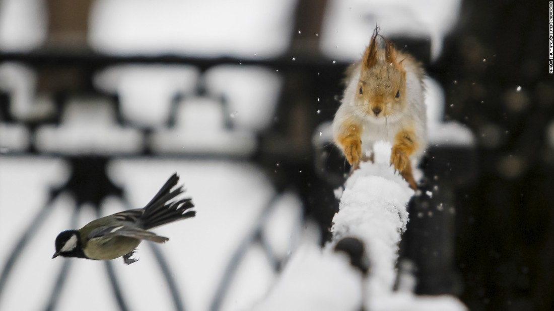 A tomtit flies past a squirrel running on a fence after a snowfall in Almaty, Kazakhstan, on Tuesday, January 12.