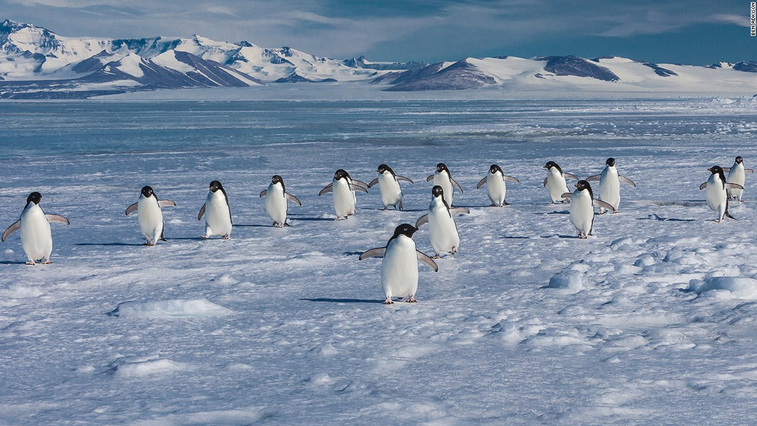 Adelie penguins face the same climate change dangers as emperors, such as reduced habitat and a diminishing food supply. However, due to their larger population, they're currently less at risk.