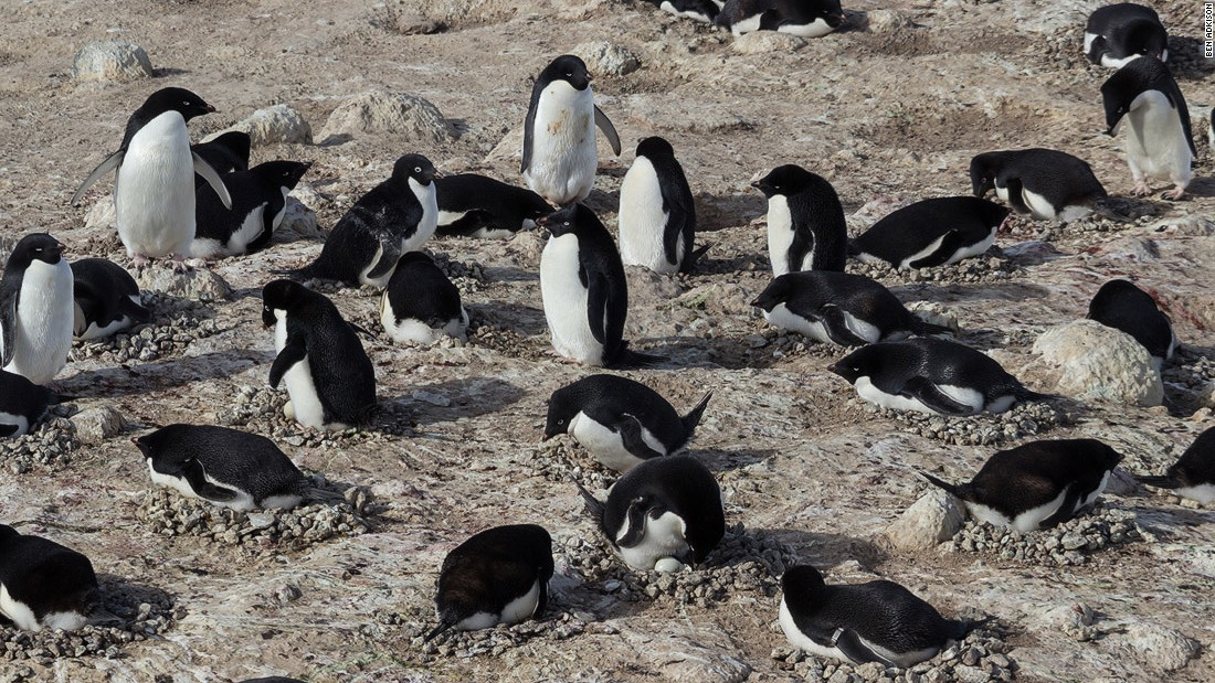 Adelies are one of the most abundant of the penguin species. They can be found in large colonies and on icebergs and coastal areas in Antarctica waters.