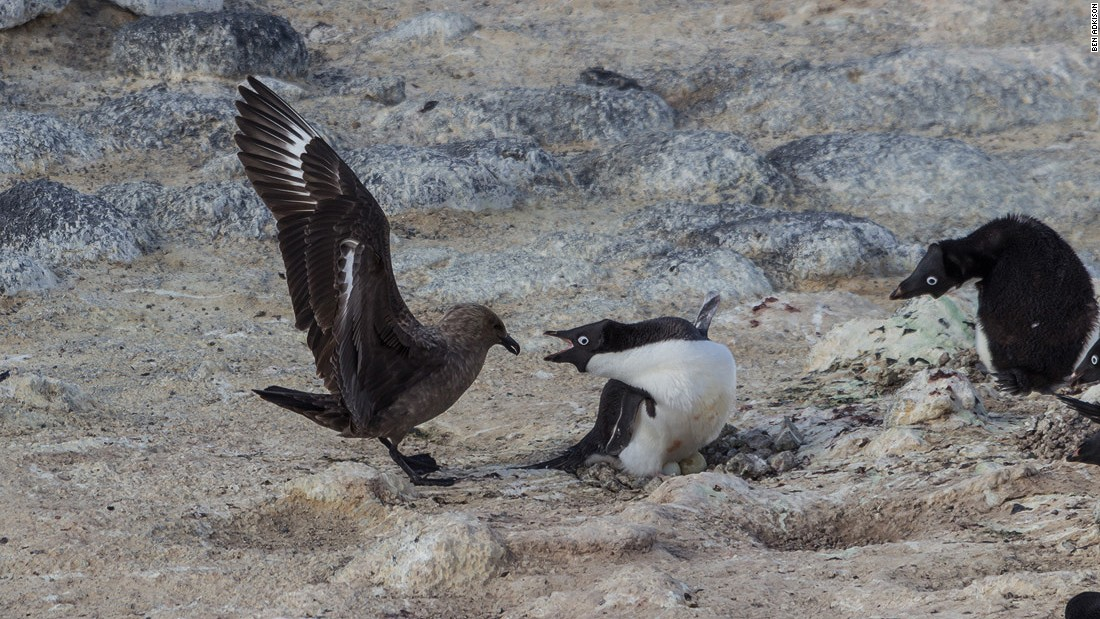 The south polar skua is the Adelie's only land predator. It will attempt to steal penguin eggs and attack young chicks. Penguins work together to fight off the vicious skuas.