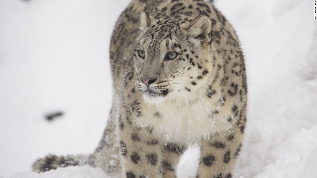 A portrait of a snow leopard at an unknown location. Only 4,500 to 10,000 of the elusive cats roam roughly 800,000 square miles of precipitous terrain from southern Siberia in the north to India in the south, and east to west from Uzbekistan to Yunnan, China.