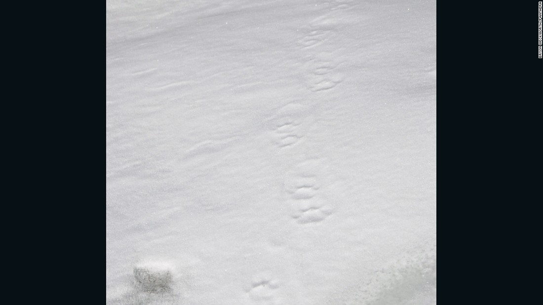 Snow leopard prints in the snow, Tibetan plateau, Qinghai province, China.