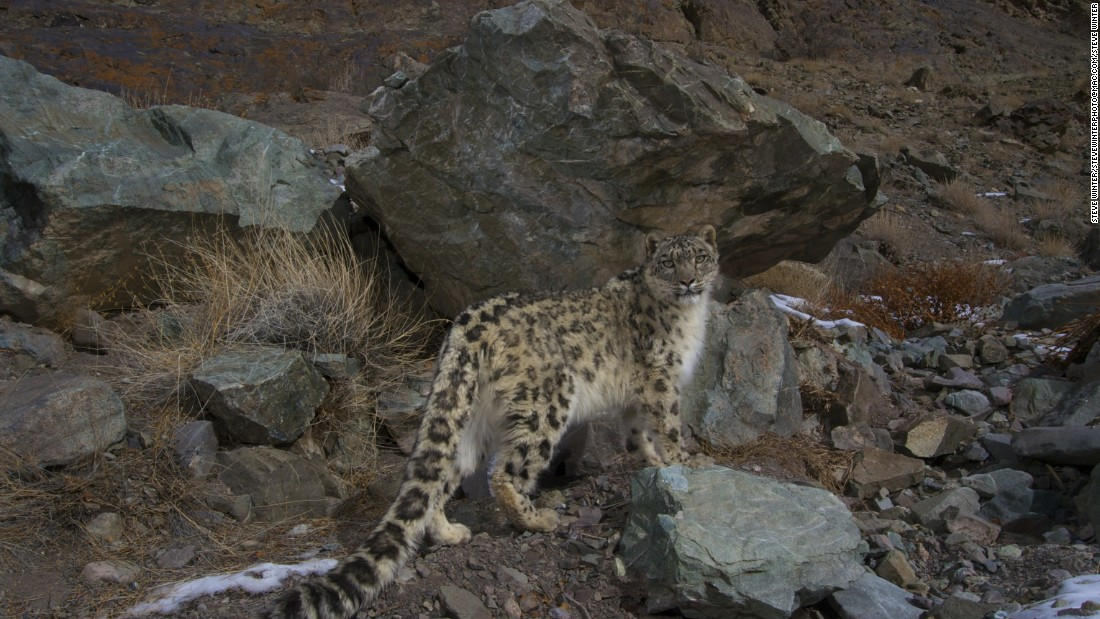 A snow leopard peers back at a camera trap set in Hemis National Park in Ladakh, India.