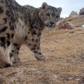 Snow Leopard in China_Credit Shan Shui-Panthera-SLT