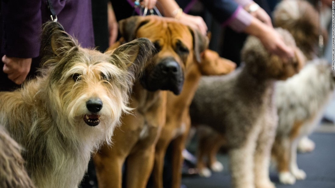 "The <a href=""http://www.westminsterkennelclub.org/"" target=""_blank"">Westminster Kennel Club</a> competition, one of the world's most famous dog shows, is allowing <a href=""http://www.westminsterkennelclub.org/breedinformation/"" target=""_blank"">seven new dog breeds</a> to compete in 2016 -- the biggest crop of newcomers to the show in a single year since 2000, <a href=""http://abcnews.go.com/Health/wireStory/westminster-dog-show-breeds-obedience-contest-36426049"" target=""_blank"">according to ABC</a>. The batch includes breeds from Europe, South Africa and the U.S. To take part in the competition, the breeds have to be recognized by the American Kennel Club, which, among other criteria, requires that a few hundred dogs of the breed are present in the U.S."