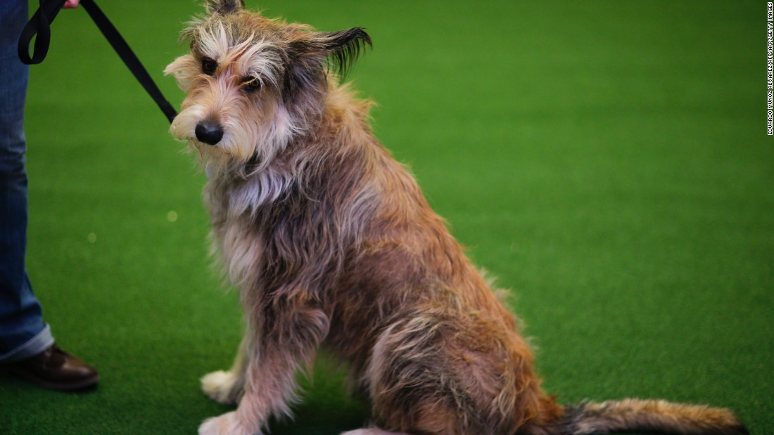 "From a recent breed to <a href=""http://www.westminsterkennelclub.org/breedinformation/herding/picard.html"" target=""_blank"">one of the oldest French herding dogs</a>. World War I and II almost led to the extinction of the Berger Picard, which is still considered rare.  According to the <a href=""http://picards.us/"" target=""_blank"">Berger Picard Club of America</a>, these dogs ""have unique personalities: they are very devoted and sincere, and at the same time, quite comical."""