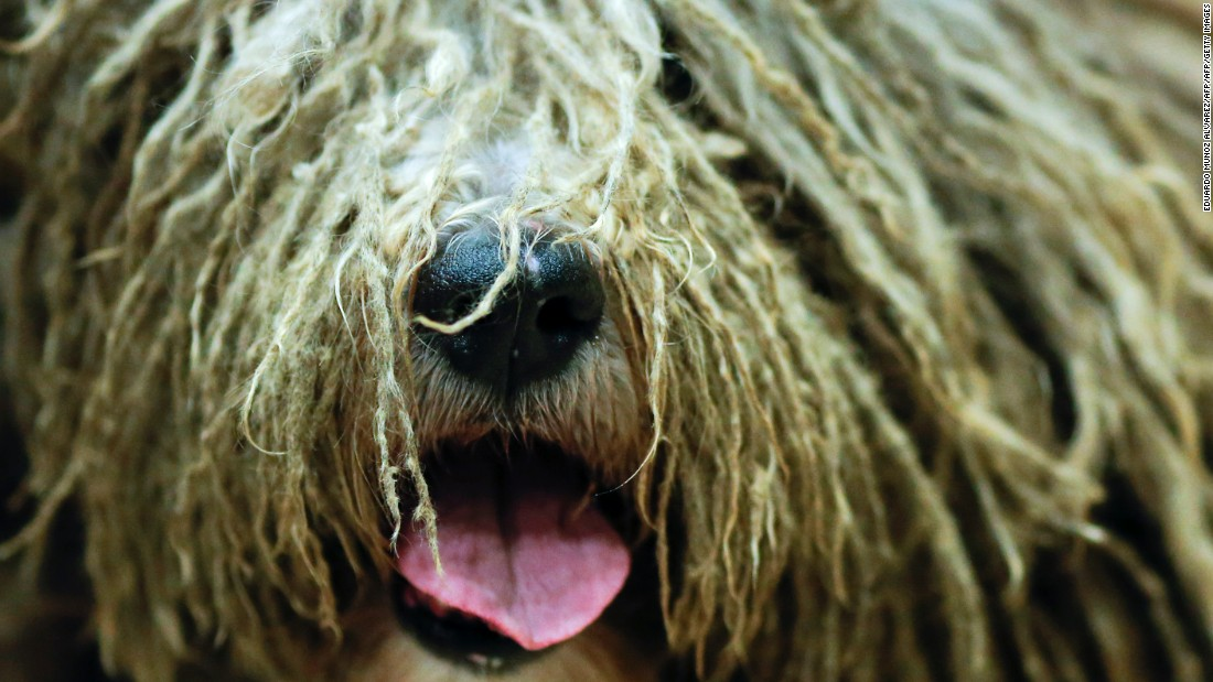 "This breed hails from the Italian Alps.<a href=""http://www.westminsterkennelclub.org/breedinformation/herding/bergamasco.html"" target=""_blank""> Known for their thick coat </a>and rustic appearance, the Bergamaschi are agile and strong."
