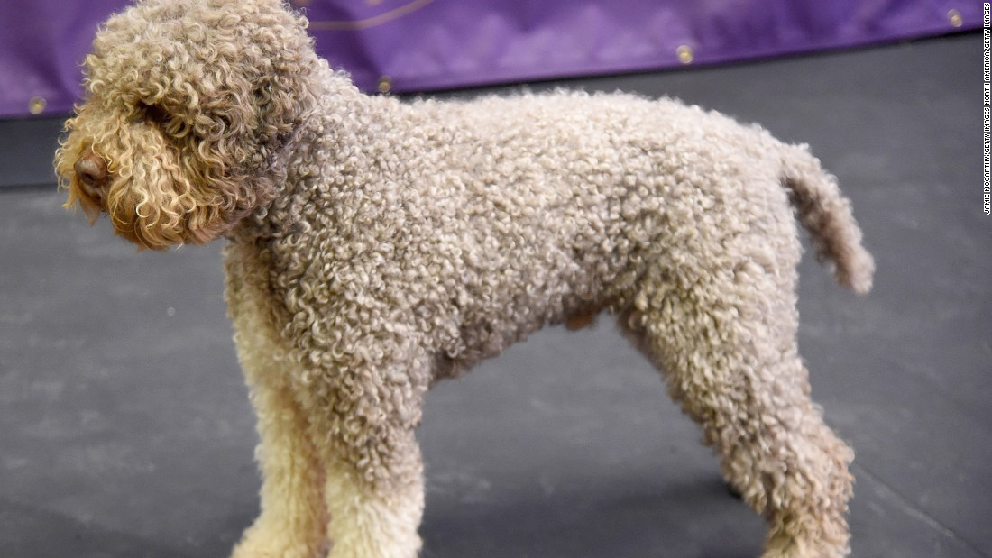 "This dog completes the Italian contingent of newcomers. Their large noses and nasal passages make them <a href=""http://www.westminsterkennelclub.org/breedinformation/sporting/lagotto.html"" target=""_blank"">excellent truffle hunters</a> -- and their curly coats protect them from thorns and bushes while they forage."